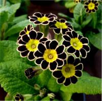 550 GOLD LACED POLYANTHUS - 5 шт.