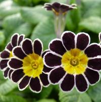 558 SILVER LACED POLYANTHUS - 5 шт.