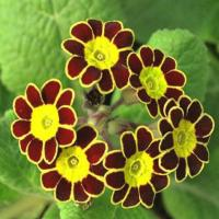 "559 GOLD LACED POLYANTHUS ""Beeches Strain"" - 5 шт."