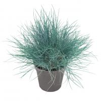 Овсяница Festuca Buddy Blue - 10 шт.